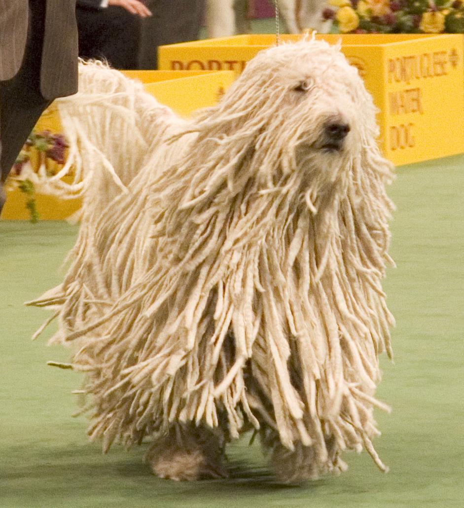 Dog Breed That Looks Like A Rug: صور كلاب جميله