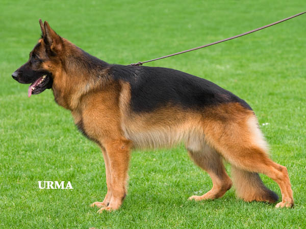How to Teach a German Shepherd to Sit